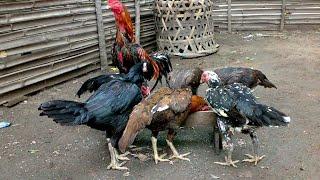 Gambar cover 6 Cara Budidaya Ayam Bangkok Untuk Pemula Paling Mudah