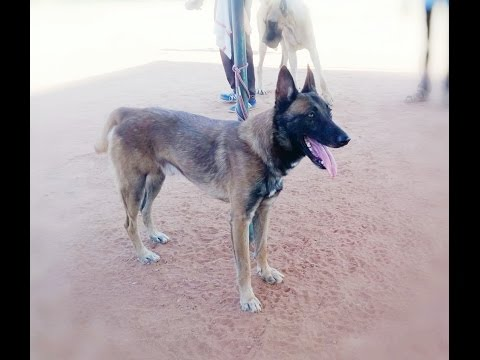 Dog Show at Cochin - Dog Breeds Belgium Malinois, Siberian Husky, Beagle, Labrador, Rottweiler