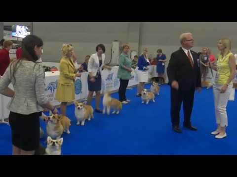 World Dog Show-2016. welsh corgi pembroke