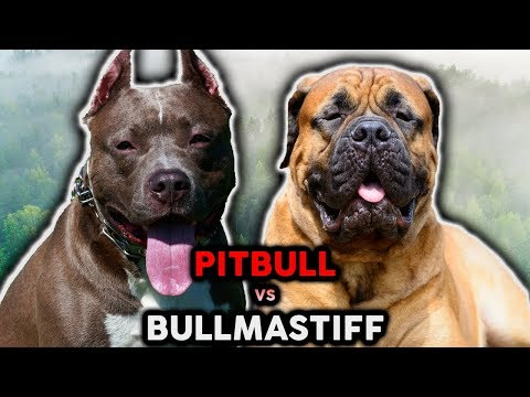 PITBULL VS BULLMASTIFF! The Best Guard Dog Breed For First Time Owners!