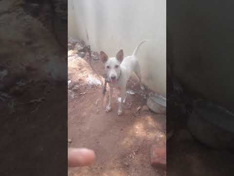 Training  my native rajapalayam 4 months old puppy
