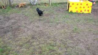 Cocker Spaniel / Puppies Welpen 14 Wochen Alt