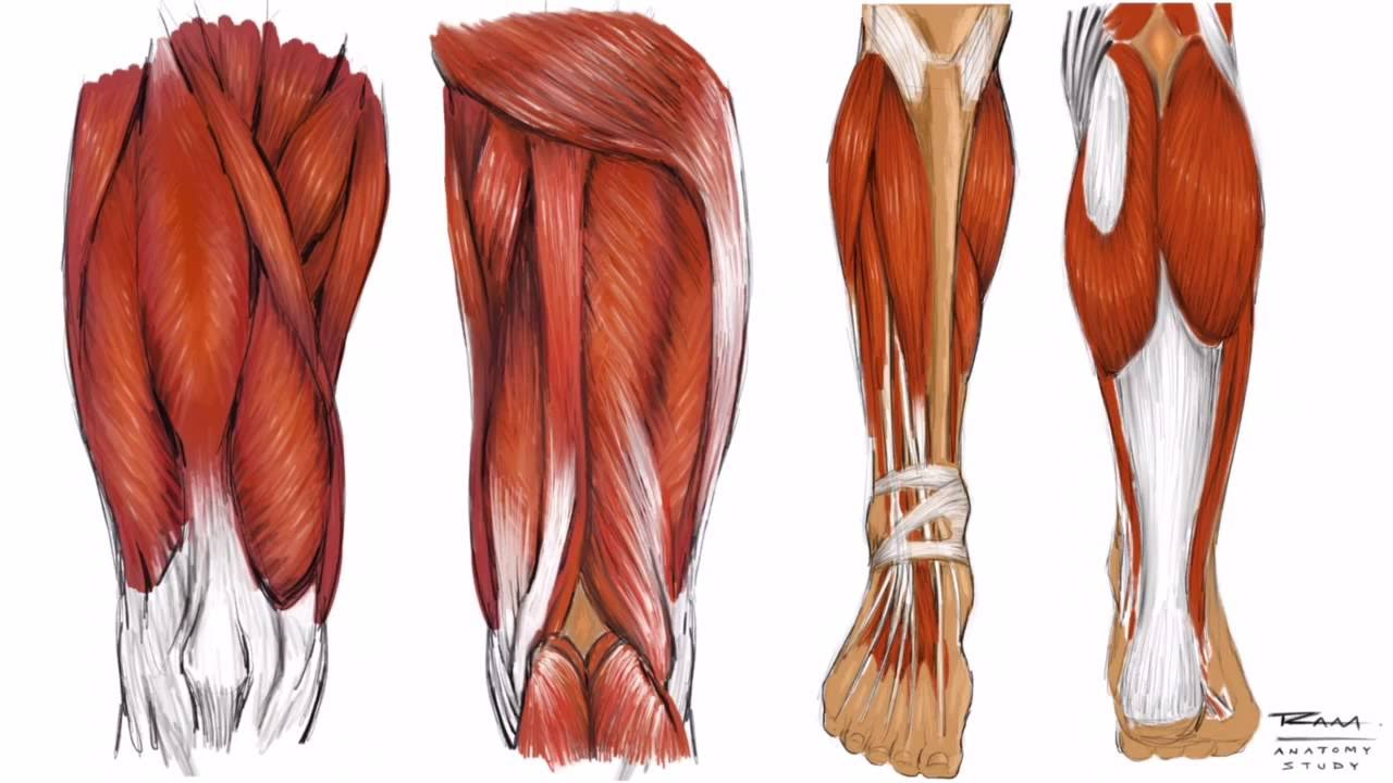 Illustrating The Leg Anatomy Step By Step Study Youtube
