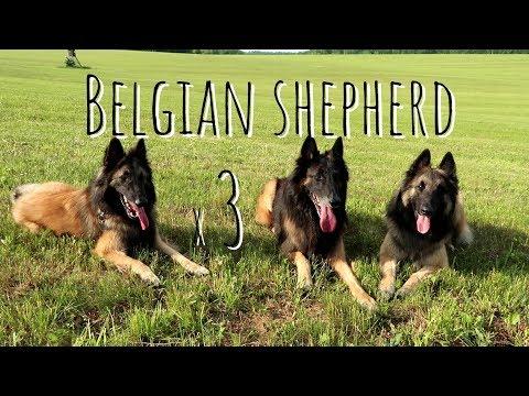 Belgian Shepherd Tervuren | Triple Trouble