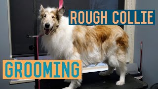 Rough Collie Groom with Trimming and Deshed Treatment/Undercoat Removal  Dog Grooming