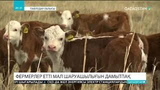 Павлодарлық фермерлер етті мал шаруашылығын дамытпақ