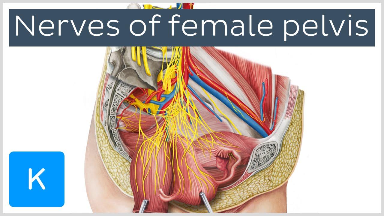 Nerves Of Female Pelvis Preview Human Anatomy Kenhub Youtube