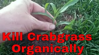 DIY Organic crabgrass control. How to kill crabgrass without using chemicals.