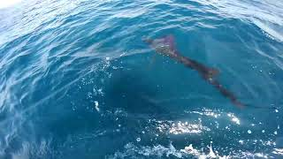 2018 Offshore World Championship | Cayman Islands Int'l Fishing Tournament | Pacific Sailfish