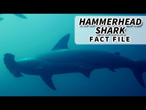 Hammerhead Shark Facts: The Weirdos Of The Shark World | Animal Fact Files