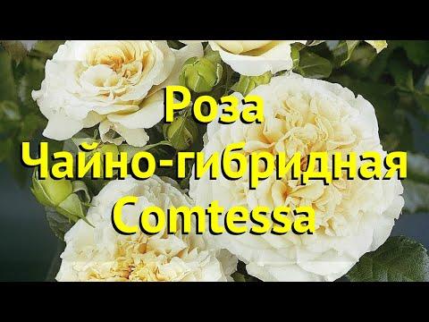Вопрос: Роза ВАВ. Какие характеристики, особенности сорта Какой уход?