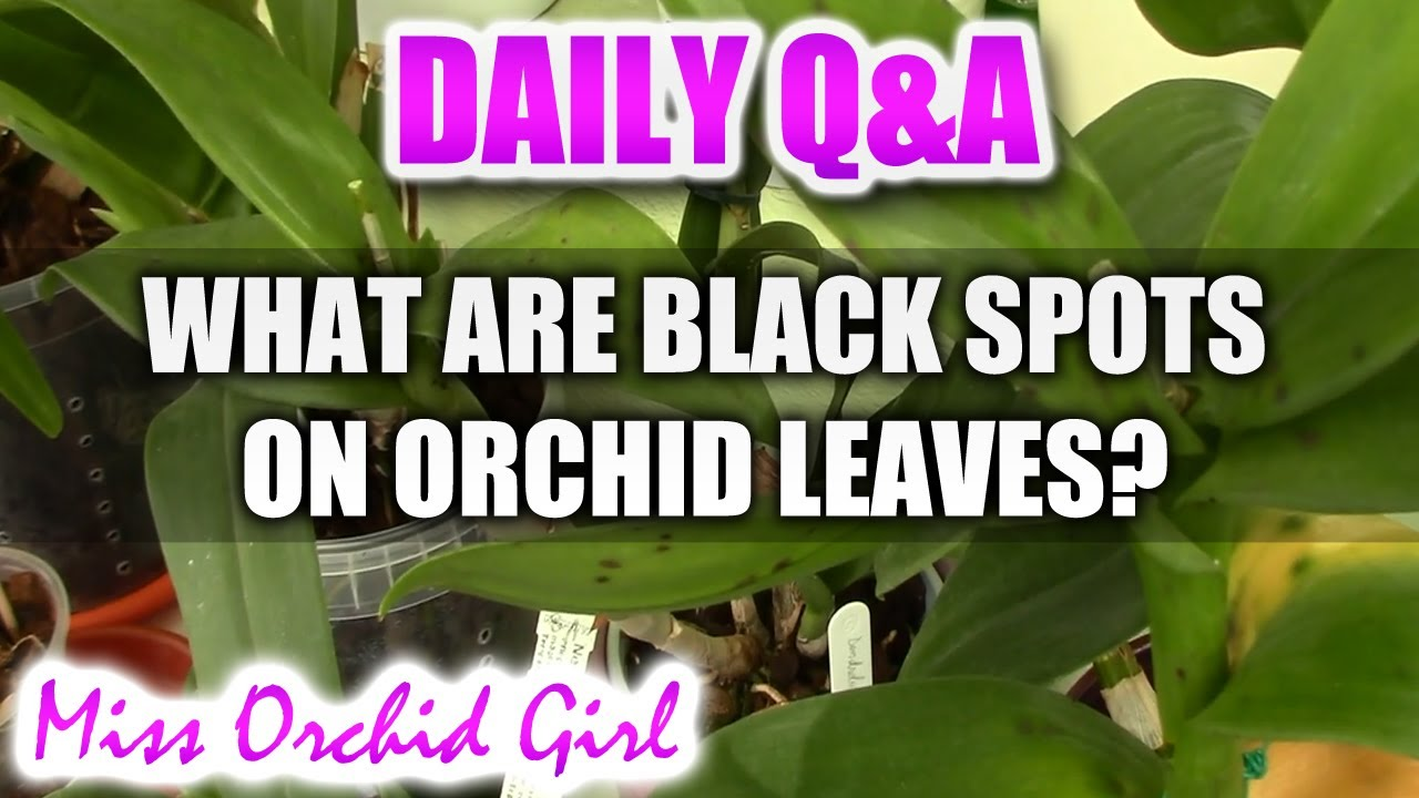Qa What Are Black Spots On Orchid Leaves Youtube