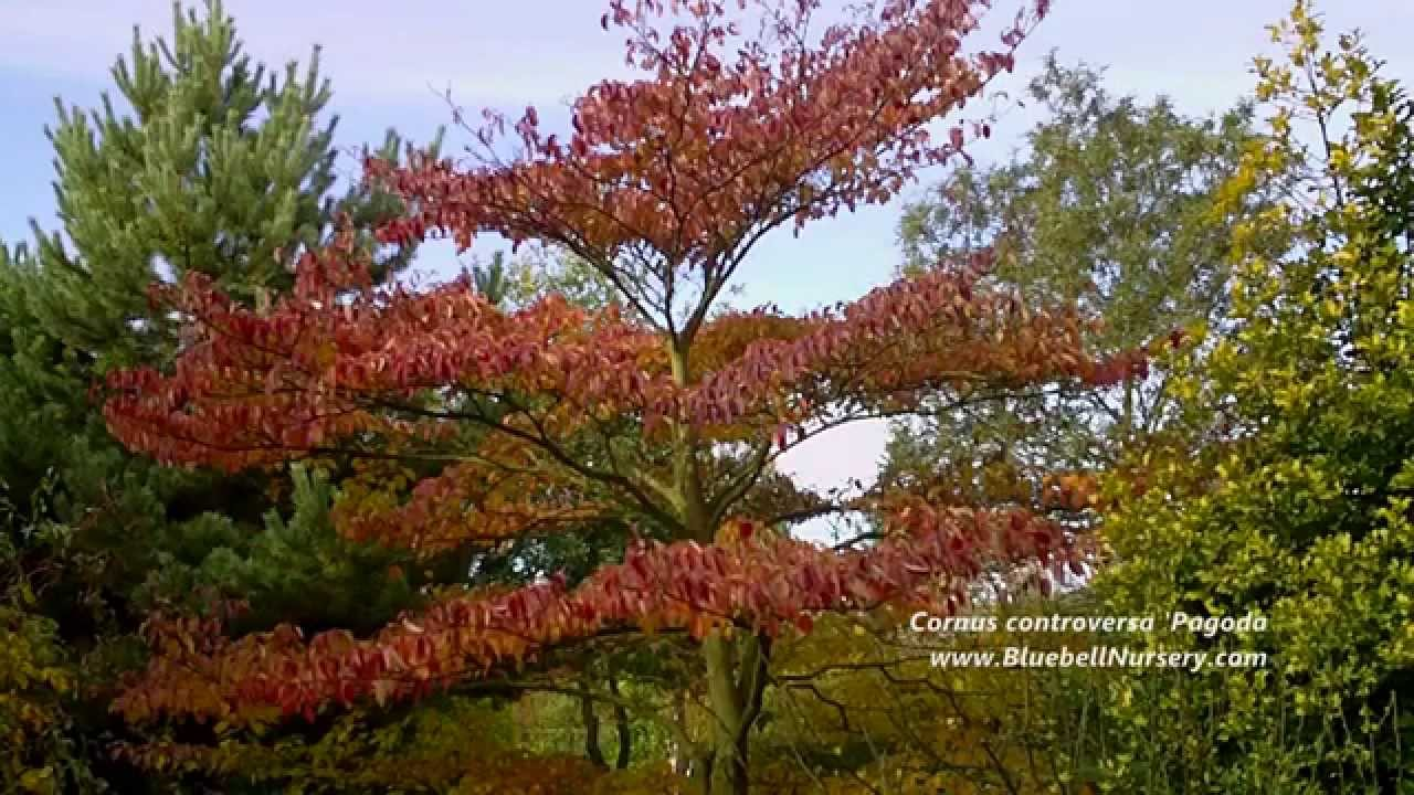 Cornus Controversa Pagoda Wedding Cake Tree Youtube