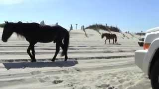 Wild Horses passing by Jeep Commander at Outer Banks OBX beach driving Corolla NC
