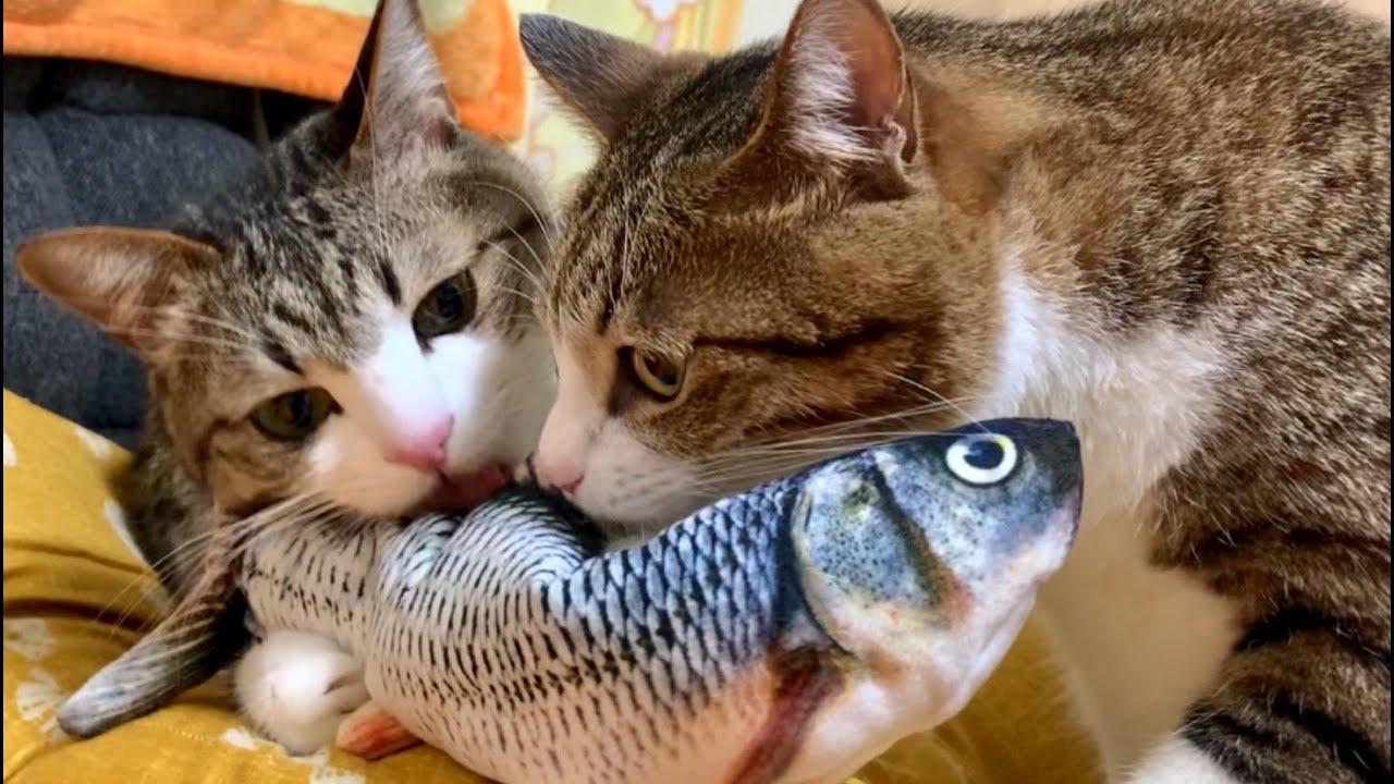 愛猫たちが大興奮っ!! 魚は誰にも渡さないっ!! vol.240