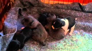 Chihuahua Puppies~3 Weeks Old~Potty Training!