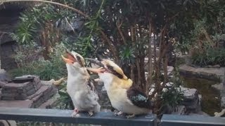 Laugh Out Loud with the Kookaburra