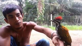 burung pelatuk jantan janggar merah ke pingan yang jinak