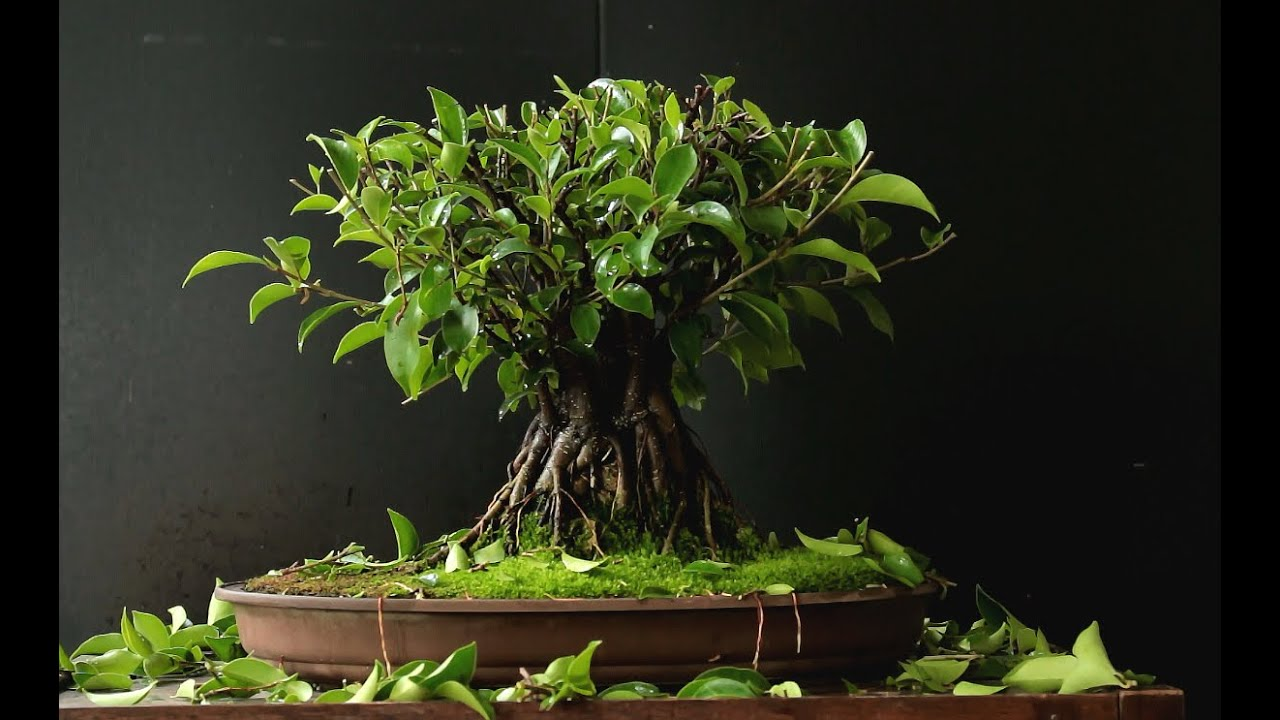 ficus microcarpa bonsai aug 2016 youtube. Black Bedroom Furniture Sets. Home Design Ideas