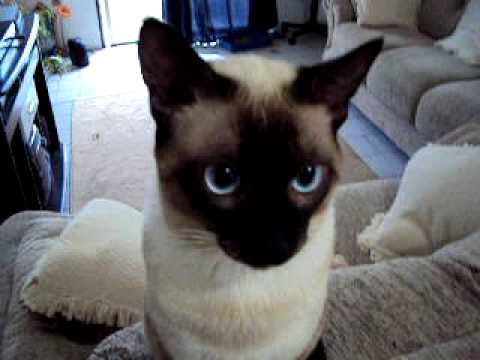 Siamese cat learning commands