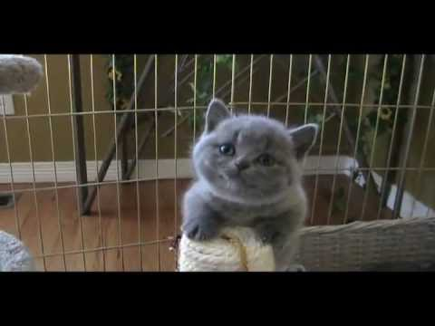 British Shorthair kittens 4 weeks old
