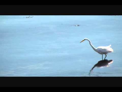 Great Egret Catches And Swallows Whole A Very Big Fish Youtube