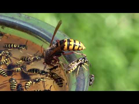 European Hornet and Yellow Jacket Wasps TRAPPED open container side by side