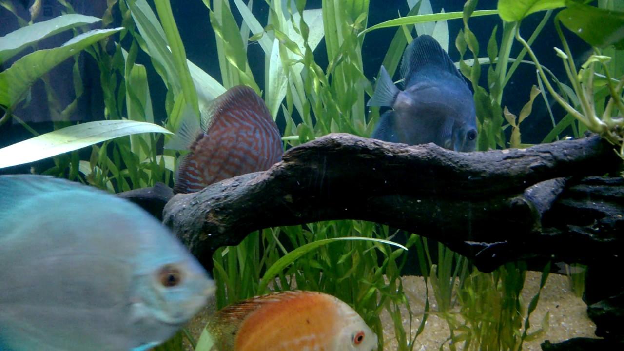 Freshwater aquarium fish documentary - Min Visithuru 2016 Freshwater Aquarium Fish