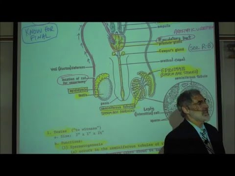 ANATOMY; MALE REPRODUCTIVE SYSTEM by Professor Fink