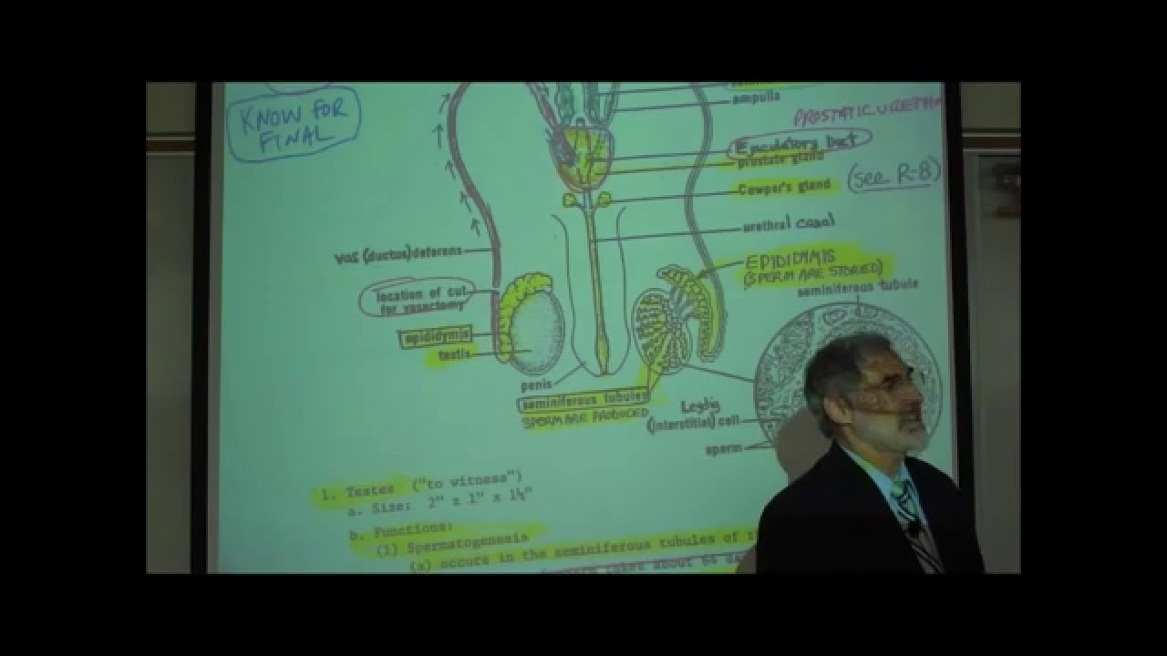 ANATOMY; MALE REPRODUCTIVE SYSTEM by Professor Fink - YouTube