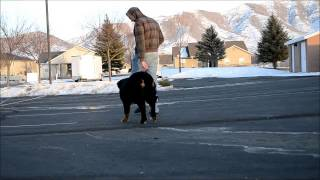 Mocha The Bernese Mountain Dog - Off Leash Obedience On E-collar