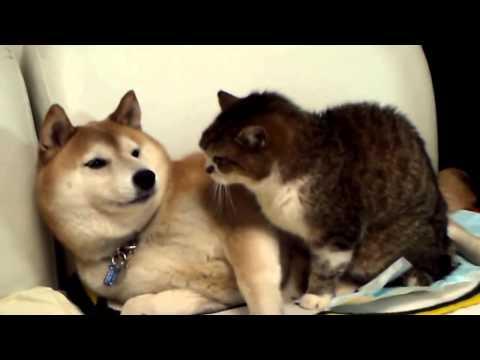 Понимающая собака лижет кота, а ему это не понравилось / Приколы 2015 / Коты и кошки / Смешные