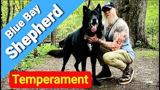 Blue Bay Shepherd Temperament  What's it Like to Own One