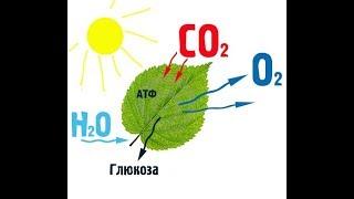 Автотрофное питание. Фотосинтез.