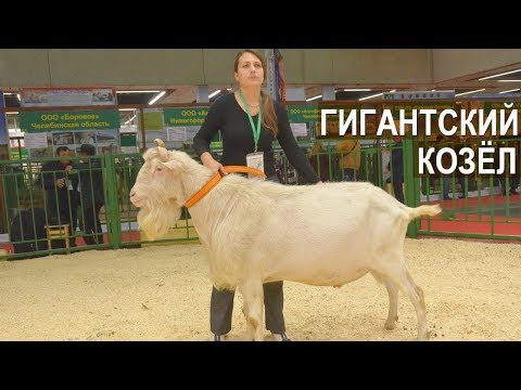 Вопрос: Как называется порода коз с длинными ушами Какие особенности?