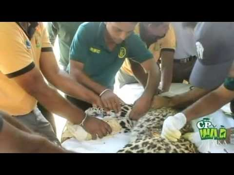 This leopard was caught by a cable trap ! (Part 2)