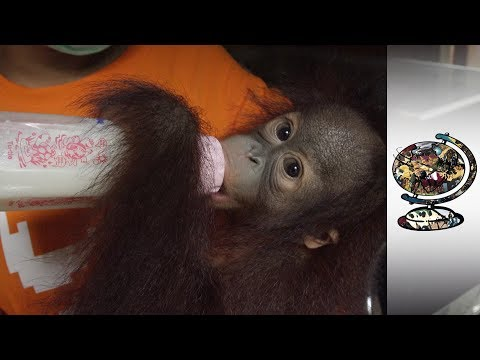 Rehabilitating The Victims Of The Illegal Orangutan Trade