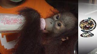 Rehabilitating The Victims Of The Illegal Orangutan Trade thumbnail