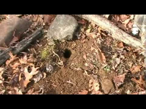 Coyote Trapping Dirt Hole Set Black Coyote Duke Trap with Cable Stake.