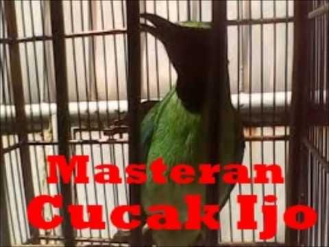 Masteran Cucok Ijo Full Tembakan | Cucak Ijo Gacor
