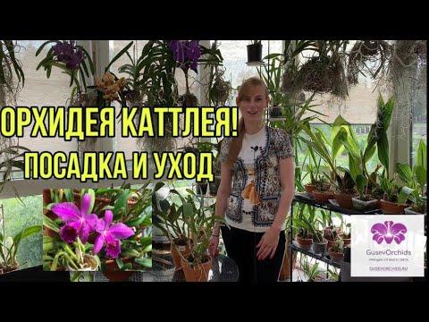 Орхидея Каттлея. Особенности ухода и посадки.