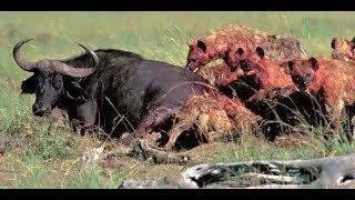 鬣狗和狮子猎杀900公斤野牛过程对比,谁强谁弱高下立判