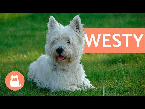 Raza de perro westy - west highland white terrier