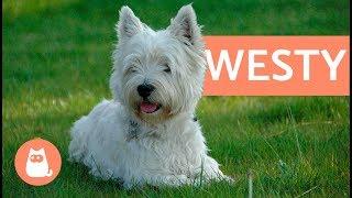 Raza de perro westy  west highland white terrier