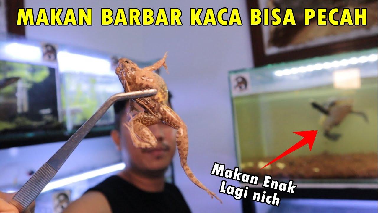 Channa Jumbo Makan Kodok ! Grebek Koleksi Bang Jrink Nam Sembilan Aquatic