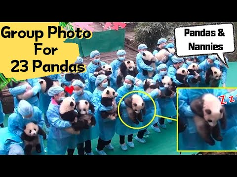 How Hard Is It To Take A Group Photo For 23 Pandas? | IPanda