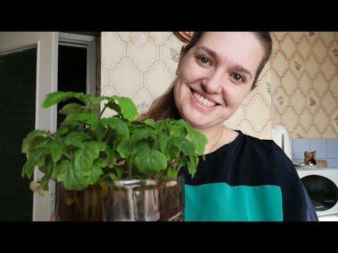 Выращиваю помидоры на подоконнике//эксперемент//мой первый опыт