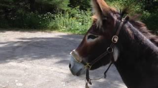 Primitive Skills Donkey Trek Across Maine