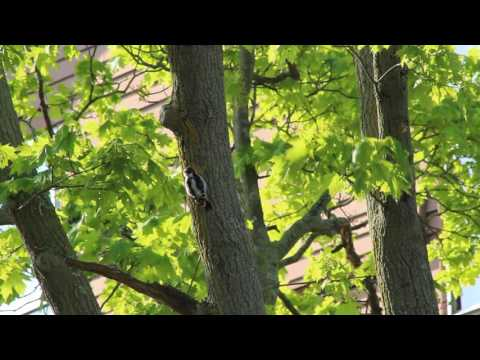 Woodpecker hacking away at a tree in Beverly, Massachusetts