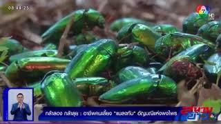 อาชีพคนเลี้ยงแมลงทับ อัญมณีแห่งพงไพร